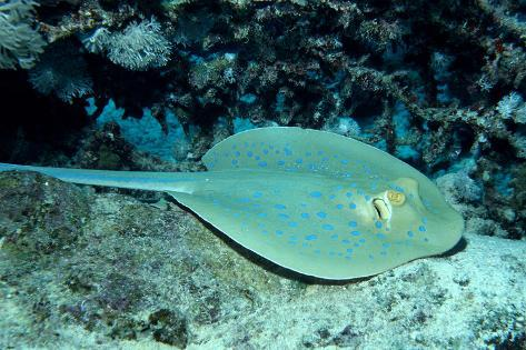 Blue-Spotted Ribbontail Ray (Taeniura Lymma), Red Sea. Reproduction photographique
