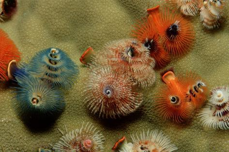 Color Variation in Christmas Tree Worms Growing on Coral (Spirobranchus Giganteus) Reproduction photographique