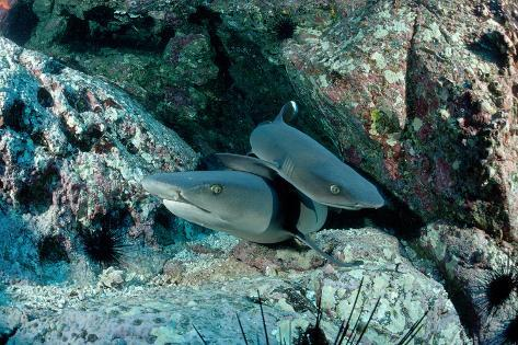 Hunting Whitetip Reef Sharks (Triaenodon Obesus), Central America, Pacific Ocean. Reproduction photographique