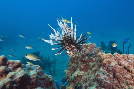 Invasive Lionfish Reproduction photographique