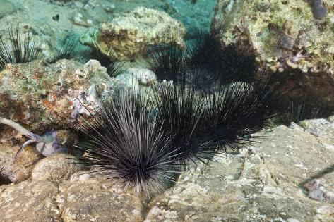 Long-Spined Sea Urchins (Diadema Antillarum) Reproduction photographique