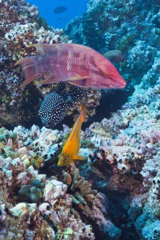Mexican Hogfish (Bodianus Diplotaenia), Clarion Angelfish (Holacanthus Clarionensis) and Guineafowl Reproduction photographique