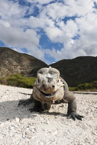 Rhinoceros Iguana (Cyclura Cornuta) Reproduction photographique