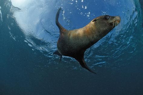 South African Fur Seal Swimming (Arctocephalus Pusillus Pusillus), South Africa. Reproduction photographique
