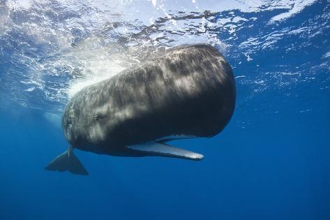 Sperm Whale (Physeter Macrocephalus) Reproduction photographique