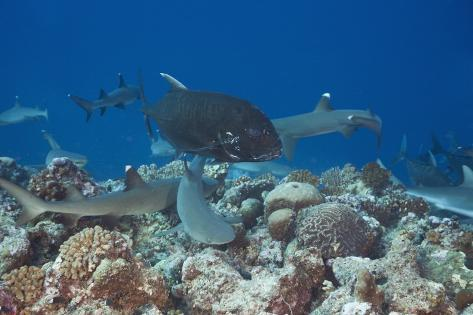 Whitetip Reef Sharks (Triaenodon Obesus) and Giant Trevally (Caranx Ignobilis) Hunting Together Ove Reproduction photographique