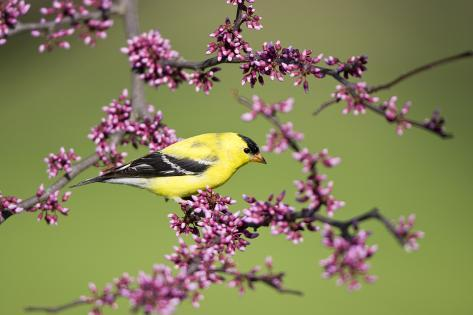 American Goldfinch Male in Eastern Redbud Tree Marion, Illinois, Usa Reproduction photographique
