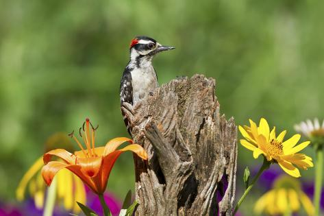 Downy Woodpecker Male on Snag , Marion, Illinois, Usa Reproduction photographique