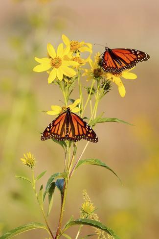 Monarch Butterflies, Prairie Ridge Sna, Marion, Illinois, Usa Reproduction photographique