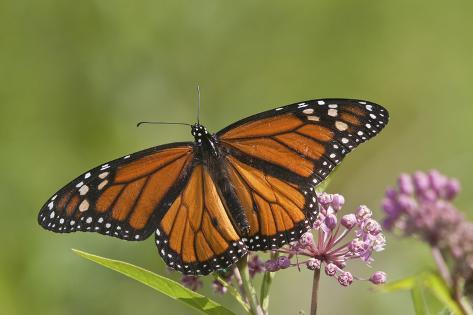 Monarch Butterfly Male on Swamp Milkweed Marion Co., Il Reproduction photographique