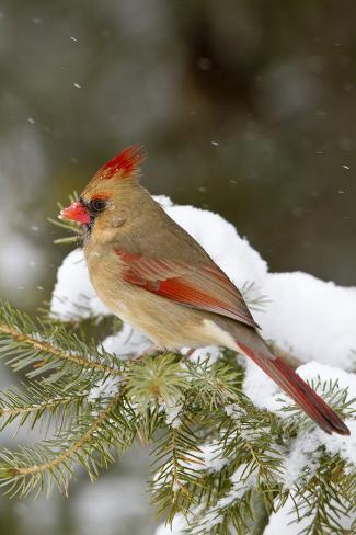 Northern Cardinal in Spruce Tree in Winter, Marion, Illinois, Usa Reproduction photographique