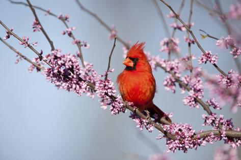 Northern Cardinal Male in Eastern Redbud, Marion, Illinois, Usa Reproduction photographique