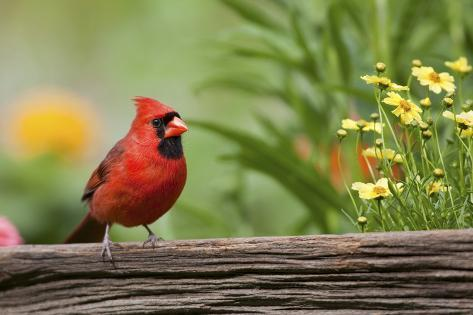 Northern Cardinal Male on Fence, Marion, Illinois, Usa Reproduction photographique