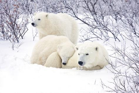 Polar Bears, Female and Two Cubs, Churchill Wildlife Area, Mb Reproduction photographique