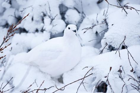 Willow Ptarmigan, Churchill Wildlife Area, Churchill, Manitoba, Canada Reproduction photographique