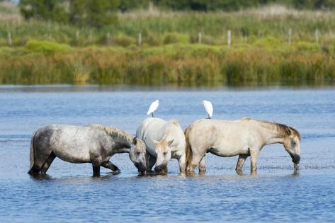 Camargue Wild Horses Reproduction photographique