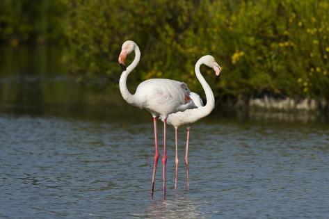 Greater Flamingos (Phoenicopterus Roseus) Reproduction photographique