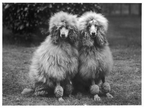 Standard Poodle Reproduction photographique