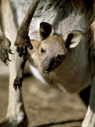 Eastern Grey Kangaroo (Macropus Giganteus) Joey in Pouch, New South Wales, Australia Reproduction photographique