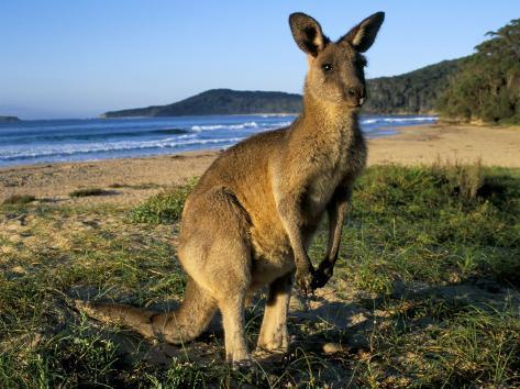 Eastern Grey Kangaroo on Beach, Murramarang National Park, New South Wales, Australia Reproduction photographique