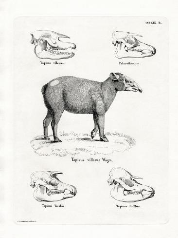 Tapir Skulls Reproduction procédé giclée