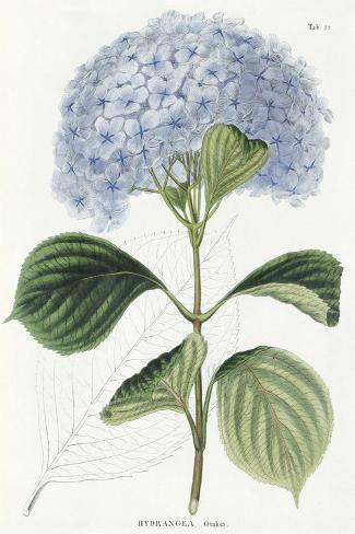 Hydrangea Otaksa Reproduction procédé giclée