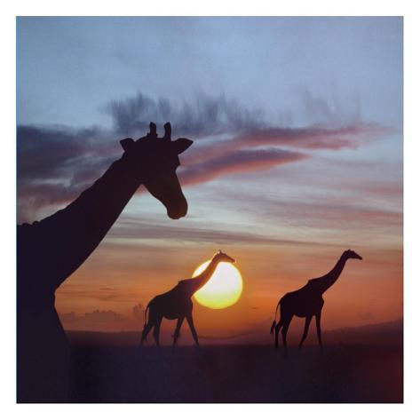 Giraffe trio at sunrise, Masai Mara, Kenya, composite image Reproduction d'art