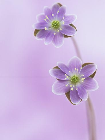 Hepatica Flowers (Hepatica Americana), Eastern USA Reproduction photographique