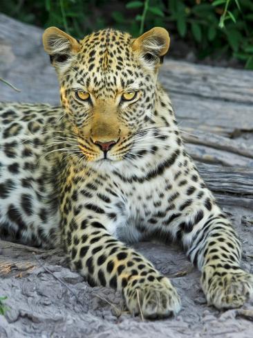 Leopard Animal Wildcat Reproduction procédé giclée