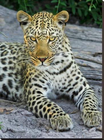 Leopard Animal Wildcat Toile tendue sur châssis
