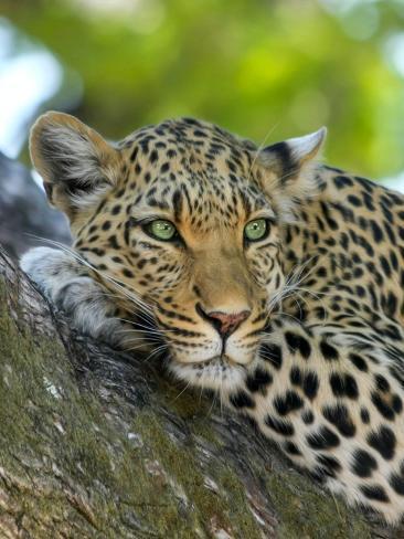 Leopard Gepard Animal Cat Reproduction procédé giclée