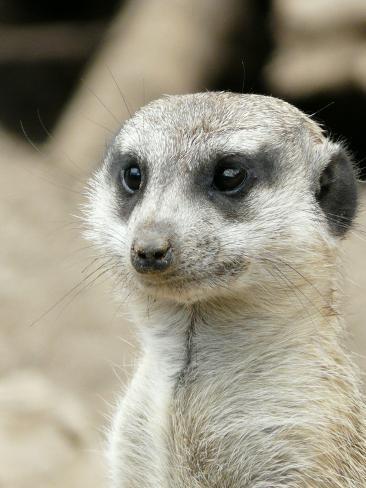 Meerkat Mammal Africa Animal Reproduction procédé giclée
