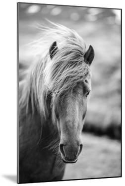 Portrait of Icelandic Horse in Black and White by Aleksandar Mijatovic
