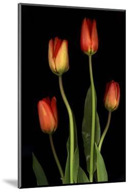Tulips on Black Background by Anna Miller