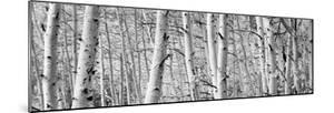Aspen Trees in a Forest, Rock Creek Lake, California, USA
