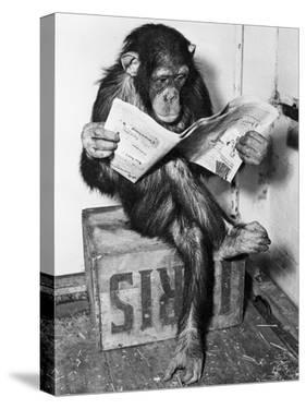 Chimpanzee Reading Newspaper by Bettmann