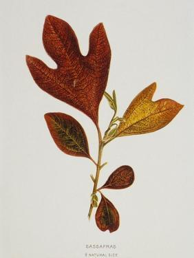 Illustration of Sassafras Leaves by Bettmann