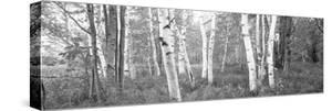 Birch Trees in a Forest, Acadia National Park, Hancock County, Maine, USA