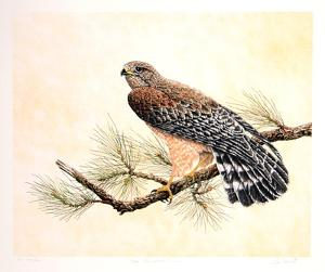 Red Shouldered Hawk by Chris Forrest