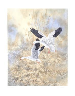 Snow Geese Landing by Chris Forrest