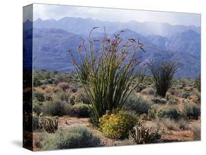 California, Anza Borrego Desert Sp, Brittlebush and Blooming Ocotillo by Christopher Talbot Frank