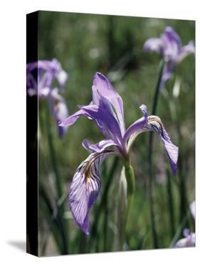 California, Sierra Nevada, Inyo Nf, an Iris Grows Out of a Meadow by Christopher Talbot Frank