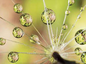Dandelion by Christopher Talbot Frank
