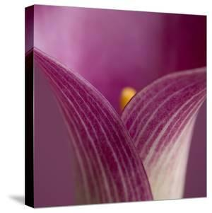 Close-up of Calla Lily by Clive Nichols