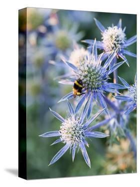Eryngium BOURGATII 'PICOS BLUE' by Clive Nichols