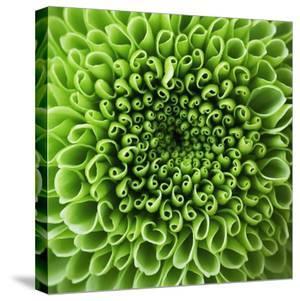 GREEN SHAMROCK CHRYSANTHEMUM by Clive Nichols