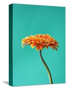 Orange Gerbera Daisy by Clive Nichols