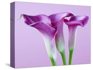 Purple Calla Lilies by Clive Nichols