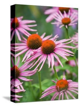 Purple coneflower by Clive Nichols