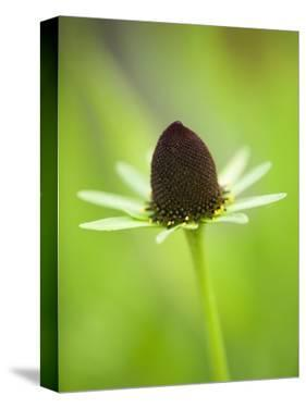 Rudbeckia occidentalis, or green wizard by Clive Nichols